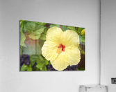 Yellow Hibiscus Tropical Flower Hawaii  Acrylic Print