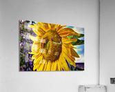 Sunflower Creative  Acrylic Print
