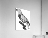 Parrot Print Antique Space Painting Vintage Drawing Poster Wall Art Eclectus Parrot Vintage parrot print Parrot Poster Print   Acrylic Print