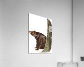 Bear Print  Acrylic Print