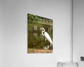 Strutting Egret  Acrylic Print
