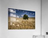 Lone tree in a wheat field; Palouse, Washington, United States of America  Acrylic Print