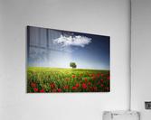 Lone tree a poppies field  Acrylic Print