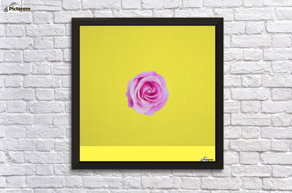 closeup pink rose with yellow background - TimmyLA Canvas