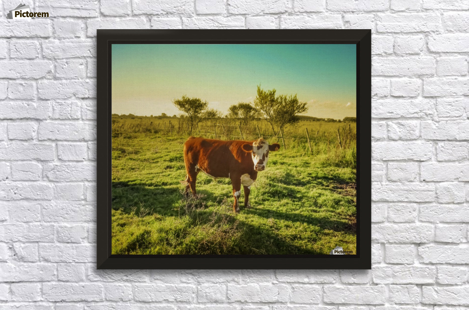 Cow in the Field Watching the Camera - Daniel Ferreia Leites ...