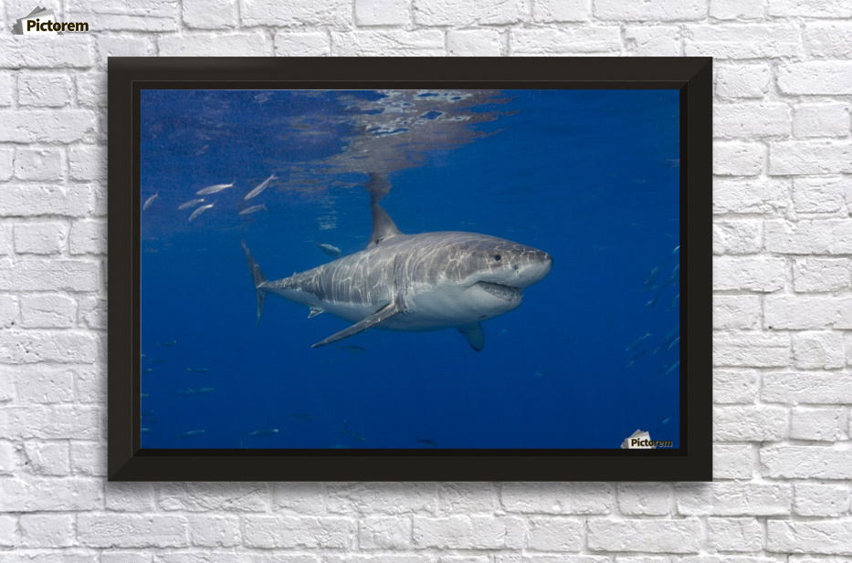 Great white shark (Carcharodon carcharias); Guadalupe Island, Mexico ...