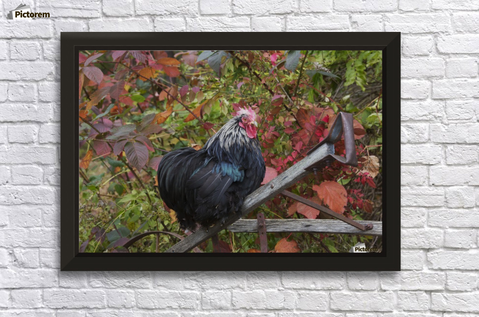 Bantam Black Cochin rooster perched on handle of old wooden plough ...