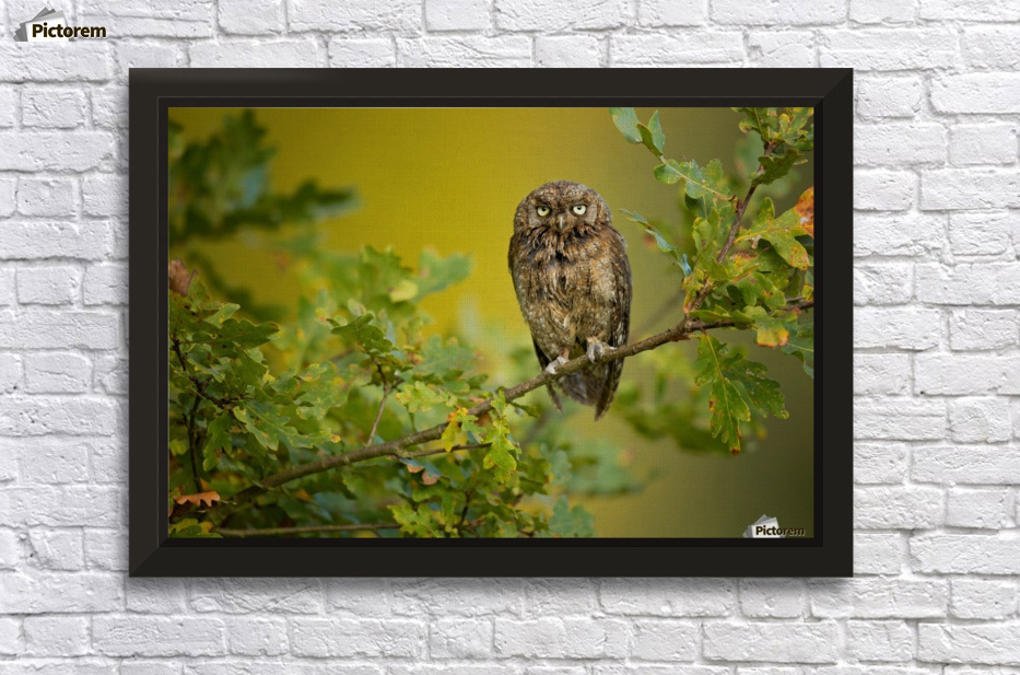 Eurasian Scops Owl - 1x Canvas