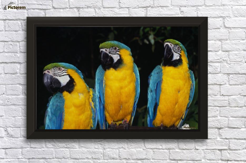 Three Parrots - PacificStock Canvas
