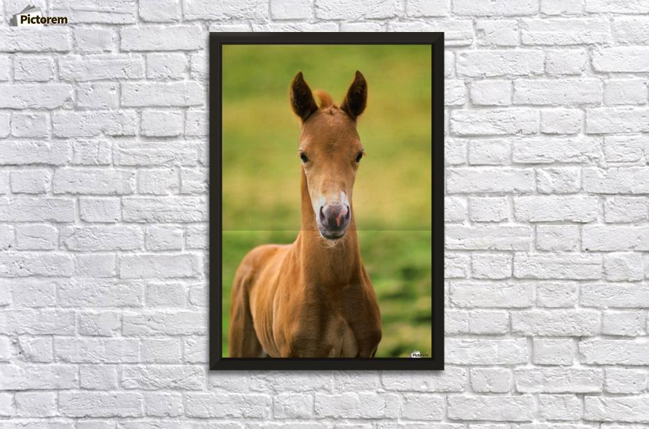 American Paint Horse Colt - PacificStock Canvas