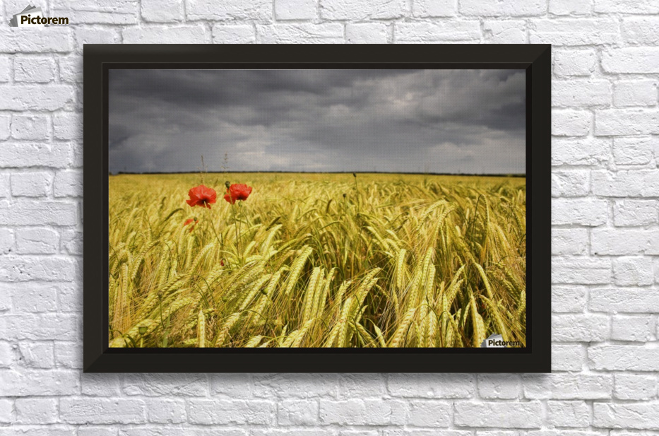 Two Red Poppies In Wheat Field - PacificStock Canvas