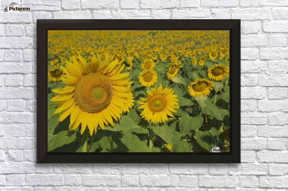 Sunflowers, Helianthus Annuus, Andalusia, Spain, Europe ...