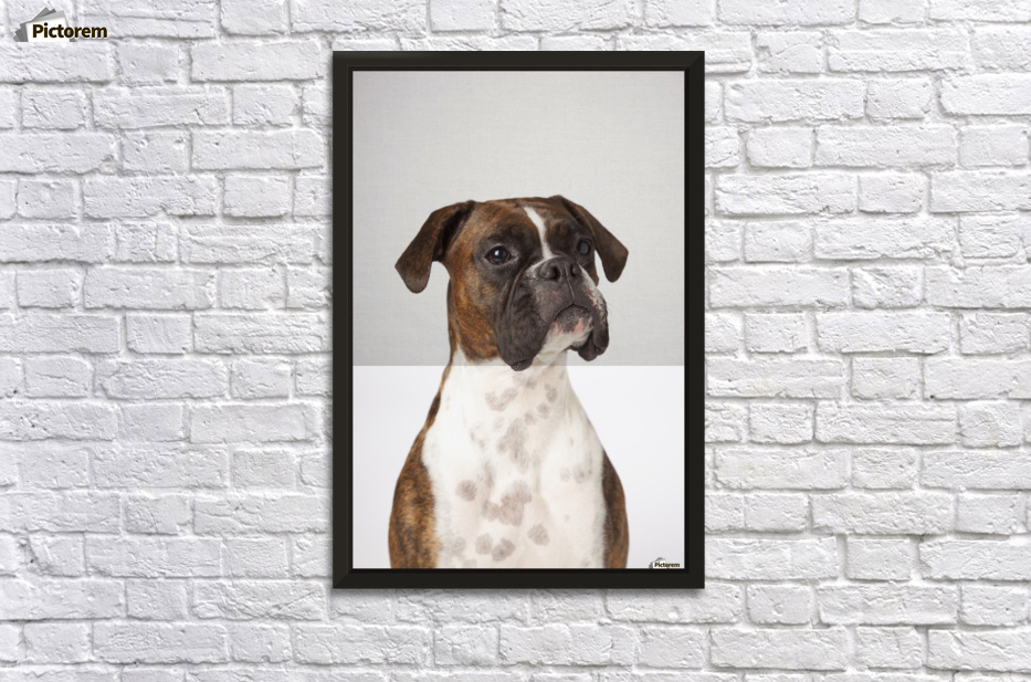 Portrait Of Boxer Dog On White Background - PacificStock Canvas