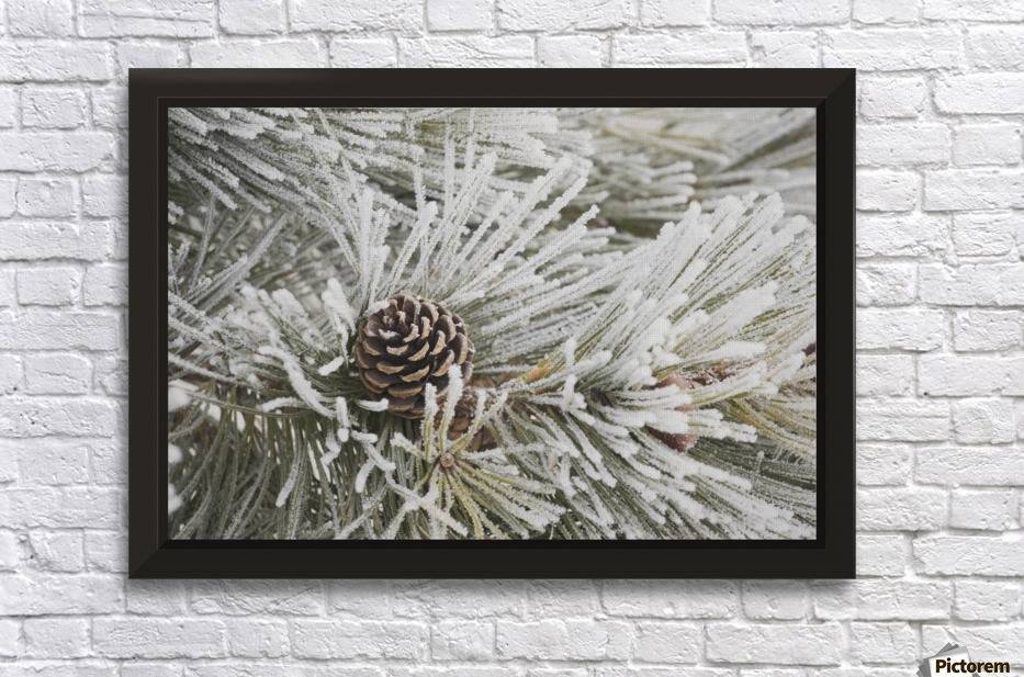 Calgary, Alberta, Canada; Frost Covered Pine Needles And A Pine ...