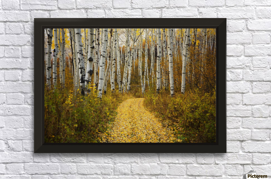 Colorado, Steamboat, Yellow Aspen Leaves On Country Road ...