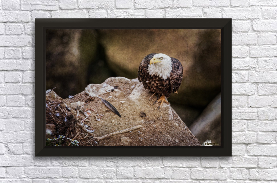 Bald Eagle on a Ledge Stretched Frame Print