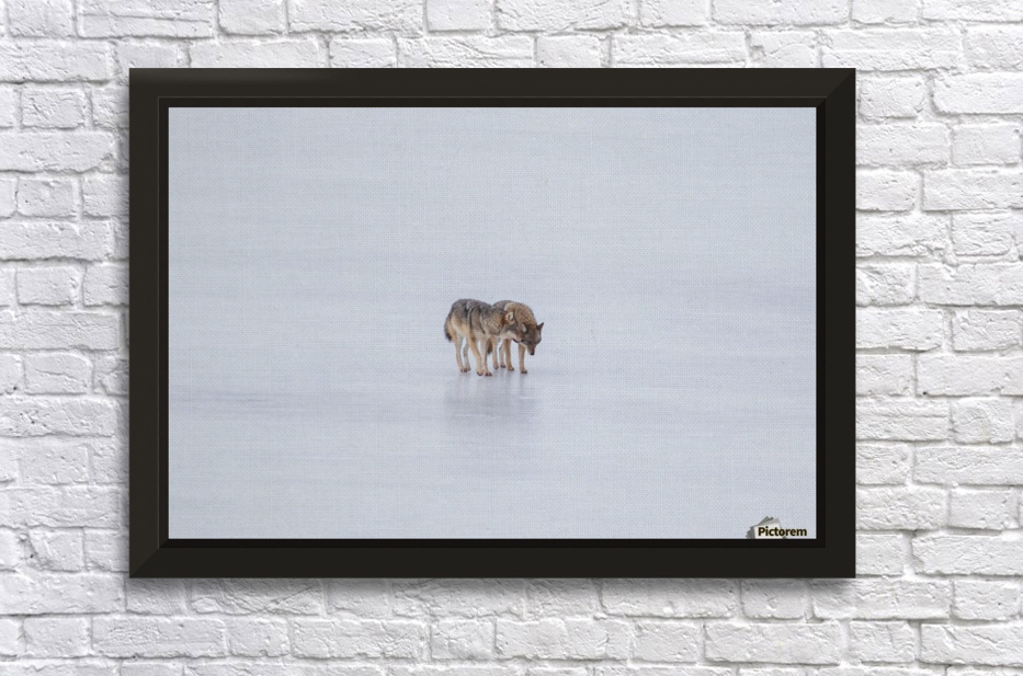 Two Coyote Stretched Frame Print
