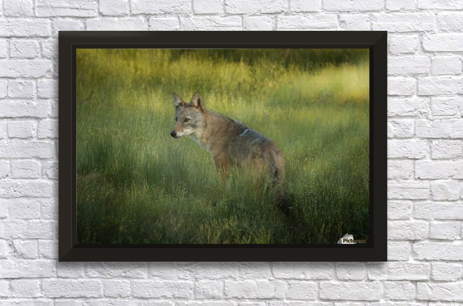 Evening Coyote Stretched Frame Print