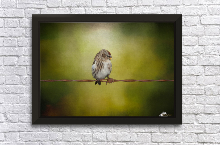 Redpoll on a Wire Stretched Frame Print