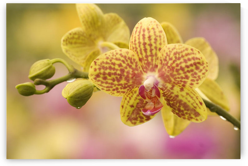 Hawaii, Close-Up Of Yellow Spotted Orchids With Dewdrops by PacificStock