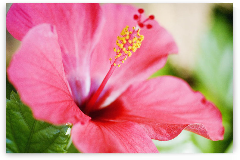 Close-Up Of Beautiful Bright Pink Hibiscus With Blue And Green Background by PacificStock