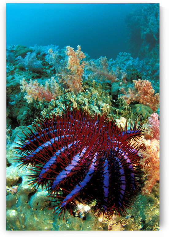 Thailand, Reef Scene With Crown-Of-Thorns Starfish (Acanthaster Planci). by PacificStock