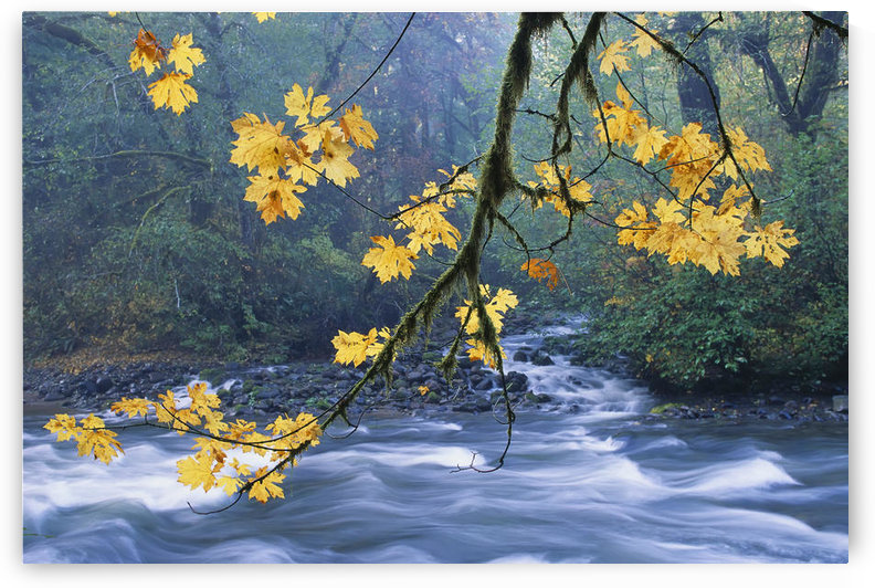 Oregon, Cascade Mountain Range, Yellow Autumn Leaves With Stream by PacificStock