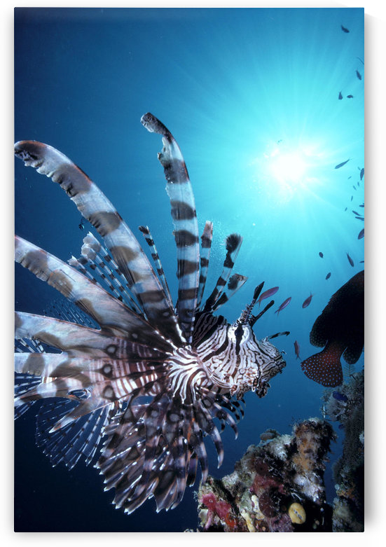 Fiji, Volitan Lionfish, Close-Up Side View, Sunburst A82F by PacificStock