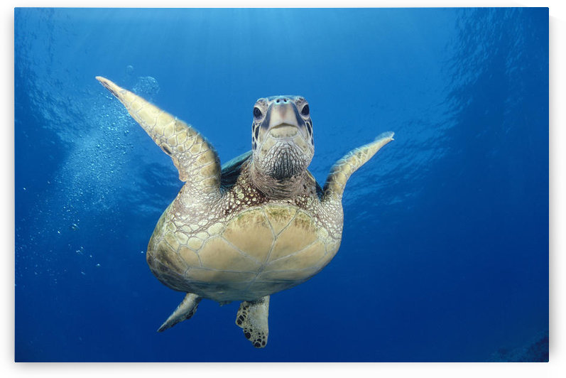 Hawaii, Maui, Front View Of Green Sea Turtle Midwater (Chelonia Mydas) A77A by PacificStock