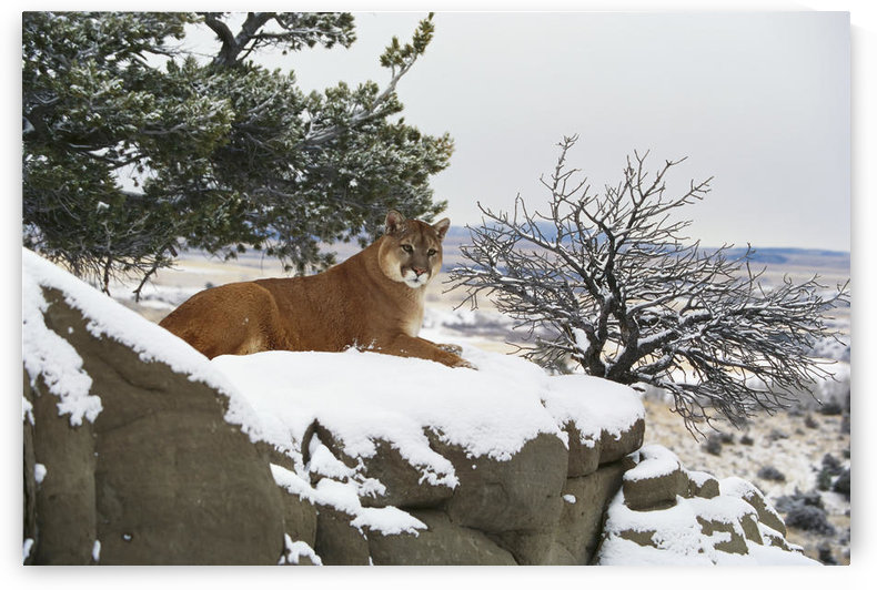 Montana Mountain Lion (Felis Concolor) Resting In Day Bed Winter, Snow A52G by PacificStock
