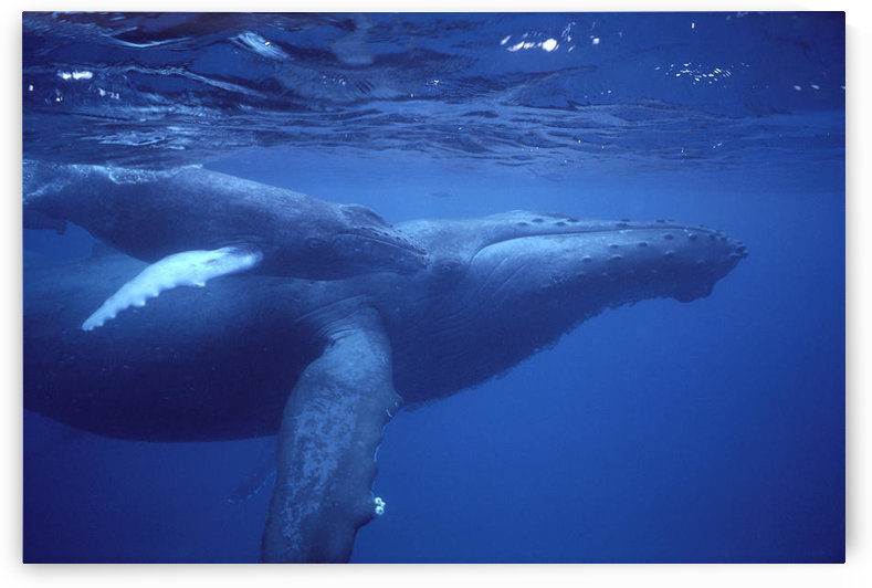 Hawaii, Humpback Whales (Megaptera Novaeangliae) Mother And Calf Underwater Near Surface A94G by PacificStock