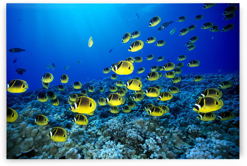Hawaii, Schooling Raccoon Butterflyfish (Chaetodon Lunula) Blue Ocean A82C by PacificStock