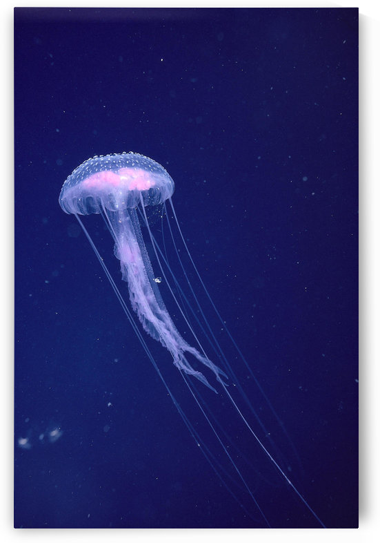 Hawaii, Jellyfish With Long Tentacles In Blue Sparkling Ocean A88E by PacificStock