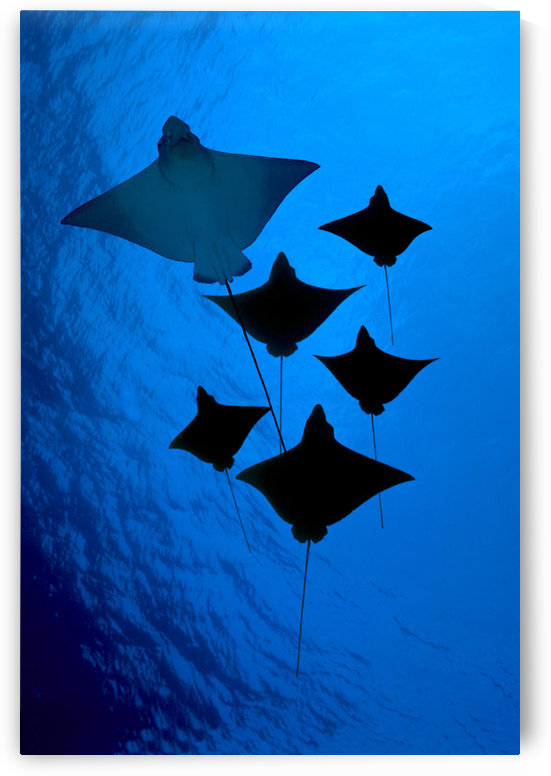 [Dc] Galapagos, Six Spotted Eagle Rays (Aetobatus Narinari) View From Below B1924 by PacificStock