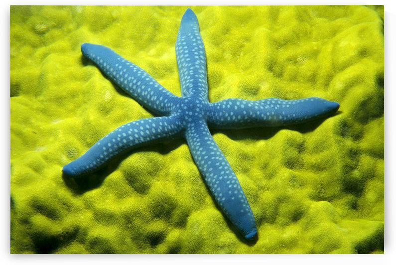 Close-Up Of Blue Starfish On Poritirs Coral (Linckia Laevigata) C1921 by PacificStock