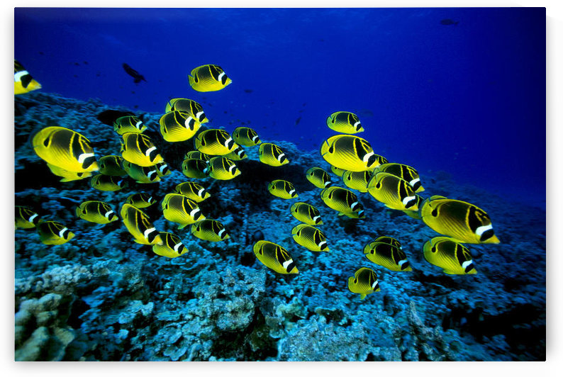 Hawaii, Schooling Raccoon Butterflyfish Over Reef (Chaetodon Lunula) C1914 by PacificStock