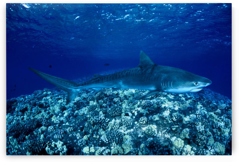 Hawaii, Close-Up Of Tiger Shark (Galeocerdo Cuvier) Shallow Reef by PacificStock