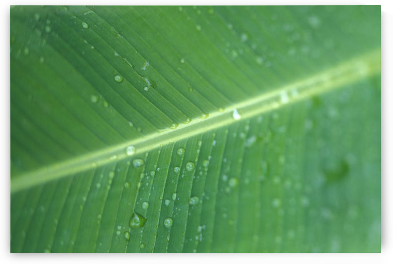 Close-Up Detail Green Banana Leaf With Droplets Of Water, Dew by PacificStock