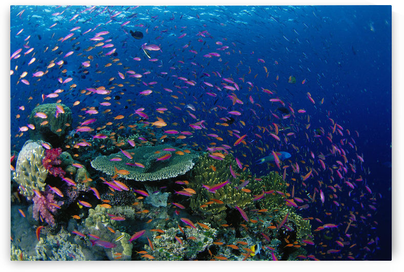 Fiji, Hard Coral Reef Scene With School Lyretail Anthias Surface (Pseudanthias Squamipinnis) by PacificStock