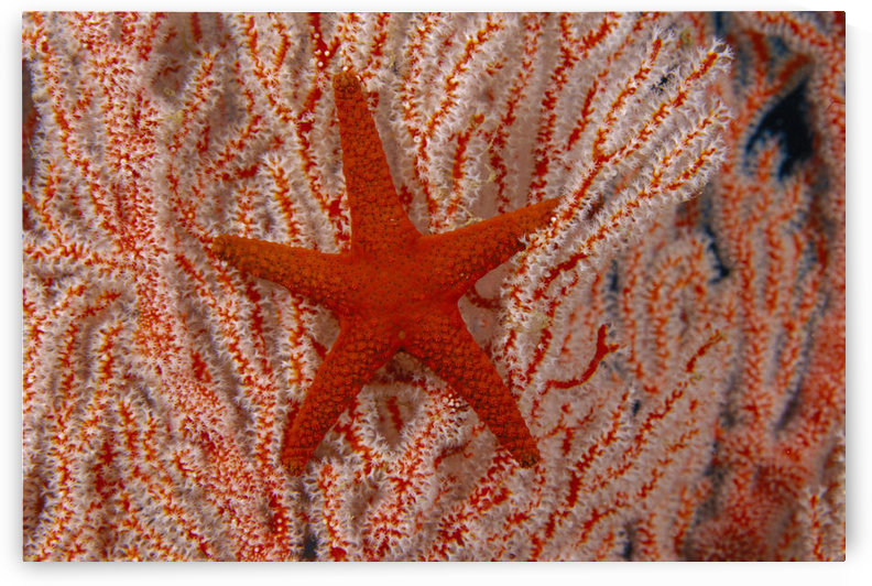 Thailand, Sea Star Aka Starfish (Fromia Indica) Gorgonian Coral Red And White by PacificStock