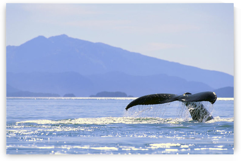 Alaska, North Pass, Humpback Whale (Megaptera Novaeangliae) Flukes by PacificStock
