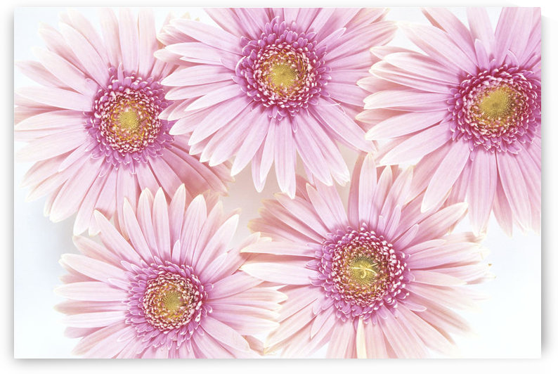 Close-Up Of Pink Daisies Set Together On White Background Studio Shot by PacificStock