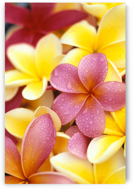 Studio Shot Of Yellow And Two Pink Plumeria Flowers, Water Drops On Petals by PacificStock