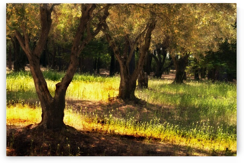 Old Olive Orchard by Frank Wilson