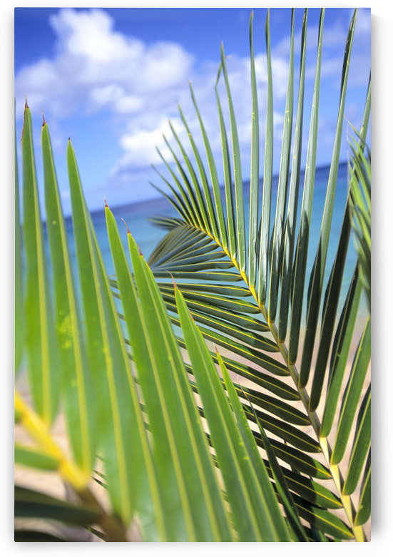 View Through Green Palm Leaves Of Blue Sky, White Clouds, Turquoise Water, Tilted by PacificStock