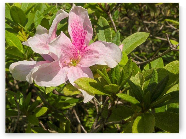 HDR Azalea flower by PJ Lalli