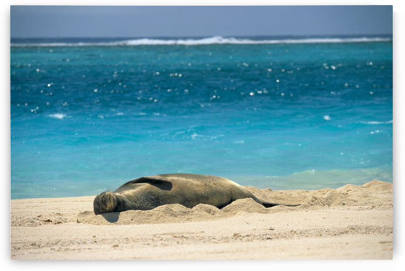 Midway Atoll, Hawaiian Monk Seal Laying In Sand With Eyes Closed, Turquoise Ocean Background by PacificStock