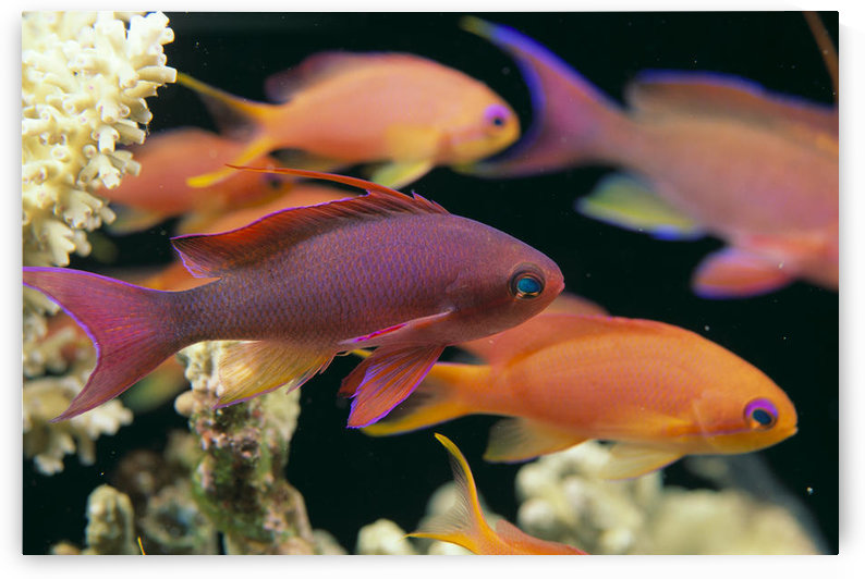 Fiji, Close-Up Side View, One Male And Several Female Lyretail Anthias (Pseudanthias Squammipinnis) by PacificStock