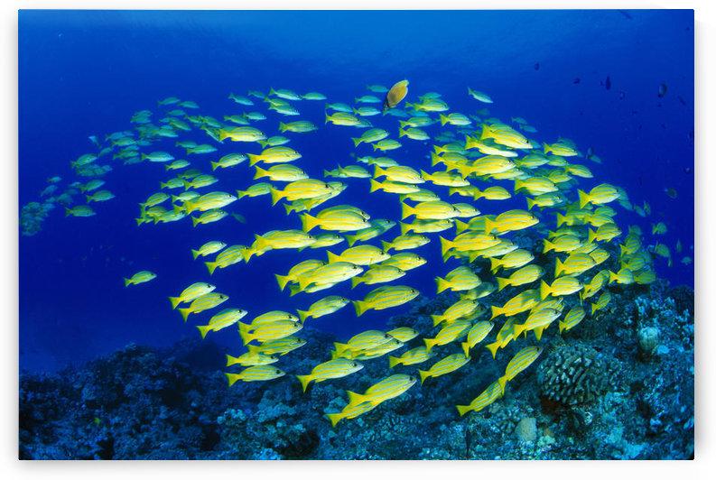 Hawaii, Large School Of Blue Stripe Snappers (Lutjanus Kasmira) Over Reef by PacificStock