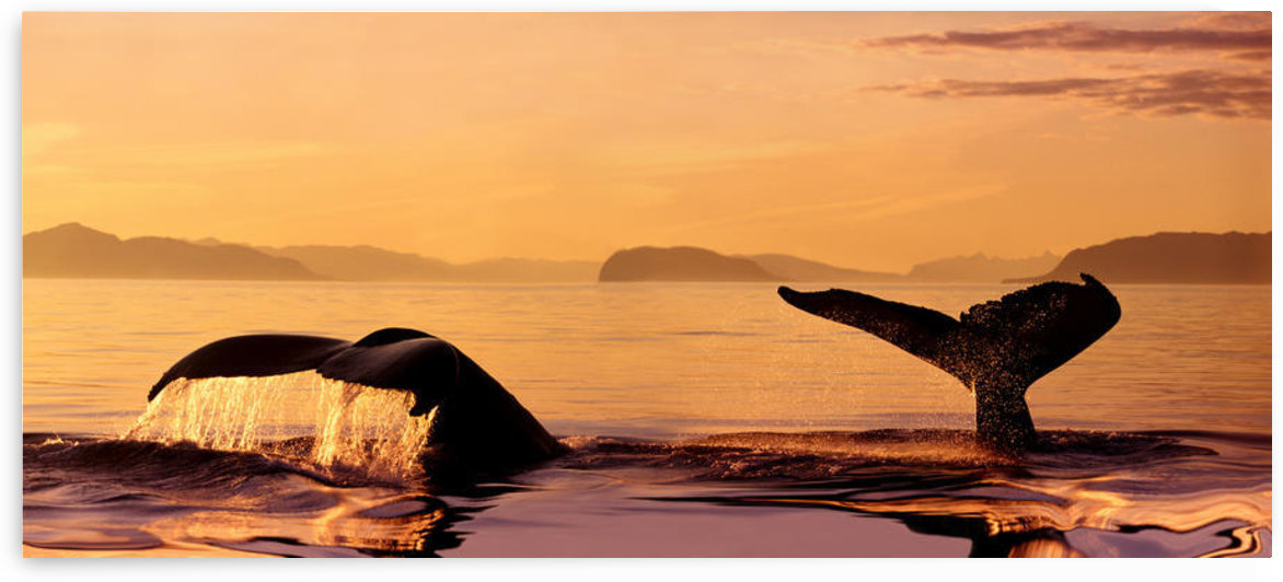 Alaska, Stephens Passage, Two Humpback Whale (Megaptera Novaeangliae) Flukes Close-Up Misty Orange Sunset Sky Raised As Submerging Inside Passage by PacificStock